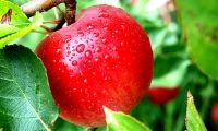 Dry Herbal Red Apple - 1kg